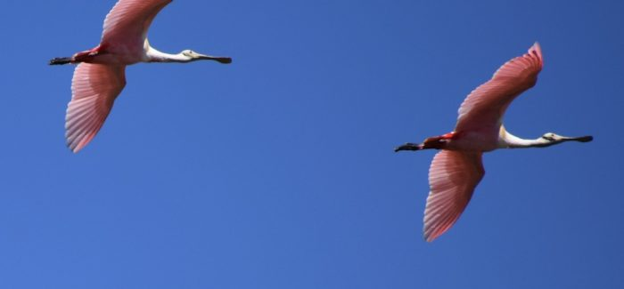 Roseate Spoonbills | Miami Native Tours