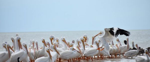 White-Pelicans-image-miami-native-tours