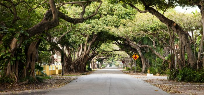 Miami Coral Gables street with its canopy of banyan trees