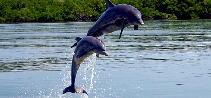 Dolphins | Private Everglades & 10,000 Islands Tours | Miami Native Tours